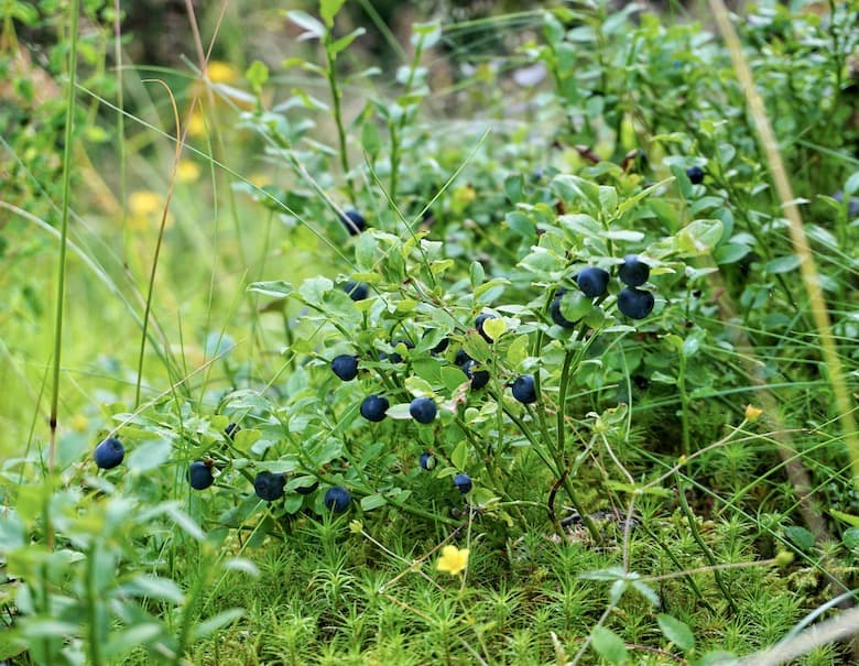 Forest berries in Romania